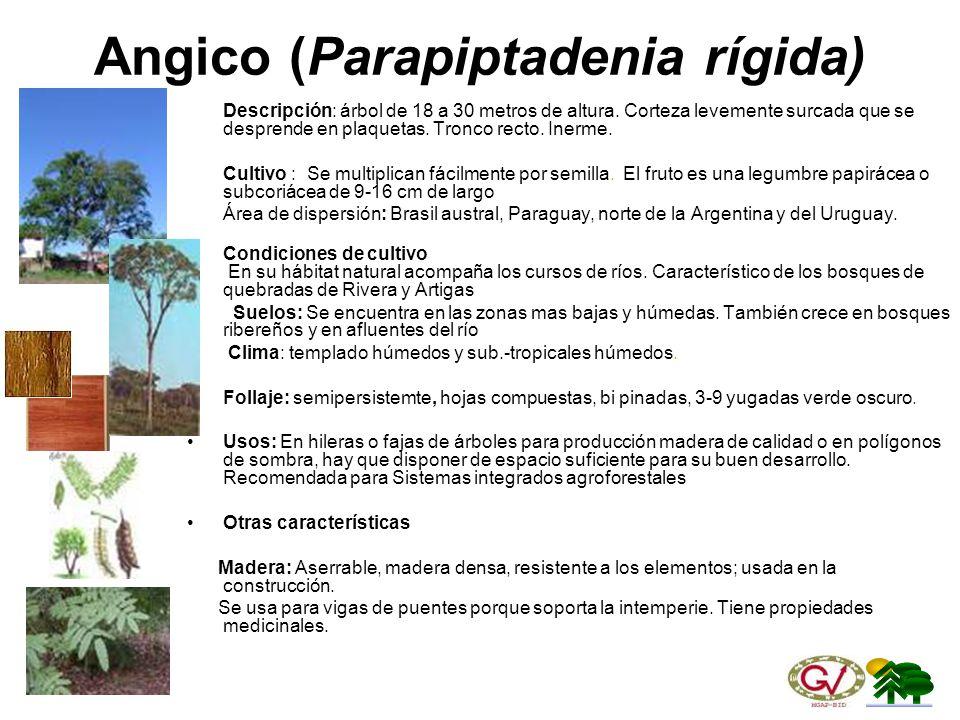 Angico (Parapiptadenia rígida)