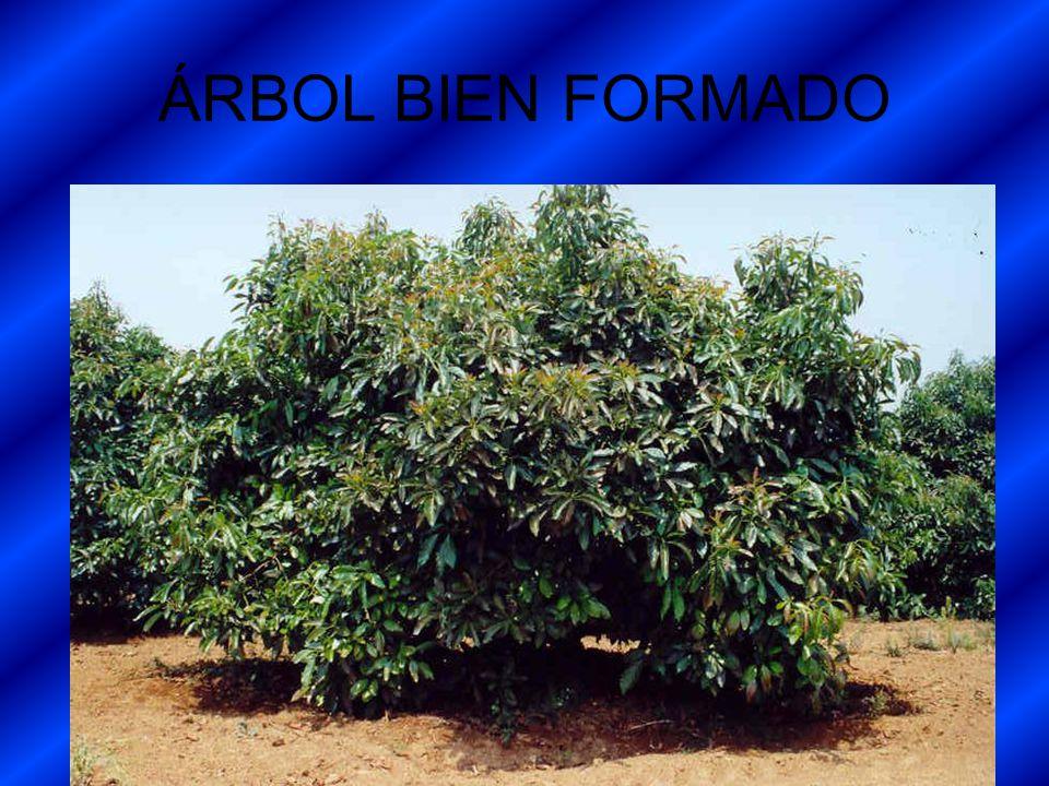 ÁRBOL BIEN FORMADO