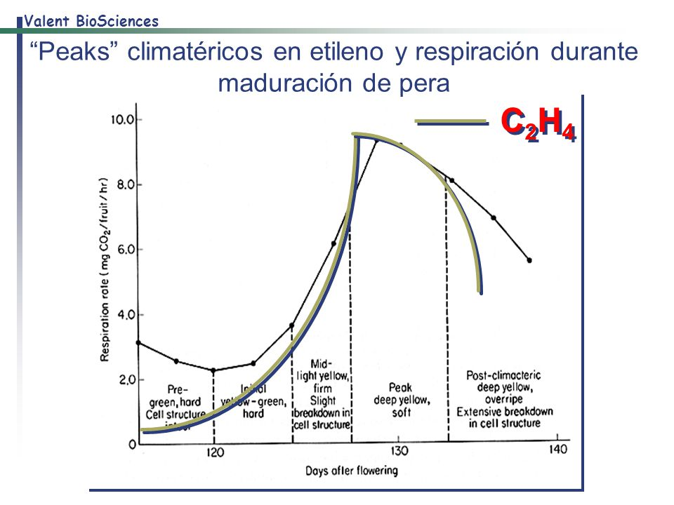 Peaks climatéricos en etileno y respiración durante maduración de pera