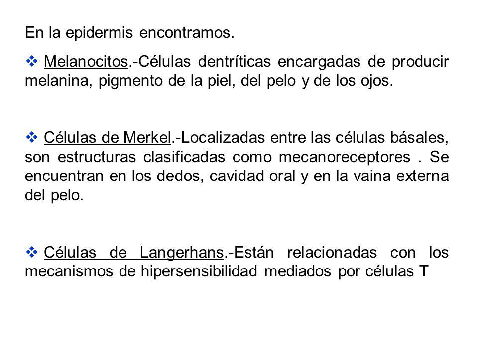 En la epidermis encontramos.