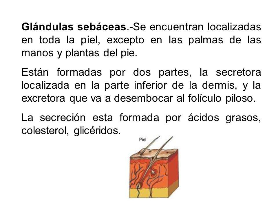 Glándulas sebáceas.-Se encuentran localizadas en toda la piel, excepto en las palmas de las manos y plantas del pie.