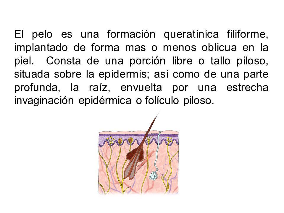 El pelo es una formación queratínica filiforme, implantado de forma mas o menos oblicua en la piel.