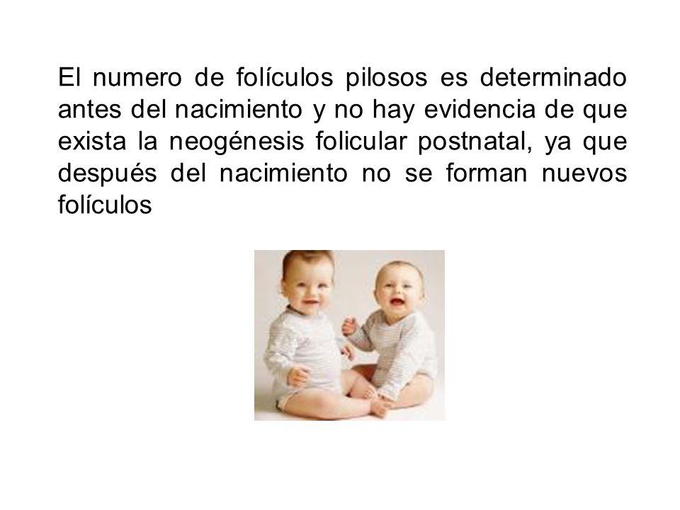 El numero de folículos pilosos es determinado antes del nacimiento y no hay evidencia de que exista la neogénesis folicular postnatal, ya que después del nacimiento no se forman nuevos folículos