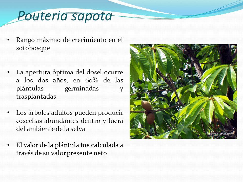 Pouteria sapota Rango máximo de crecimiento en el sotobosque
