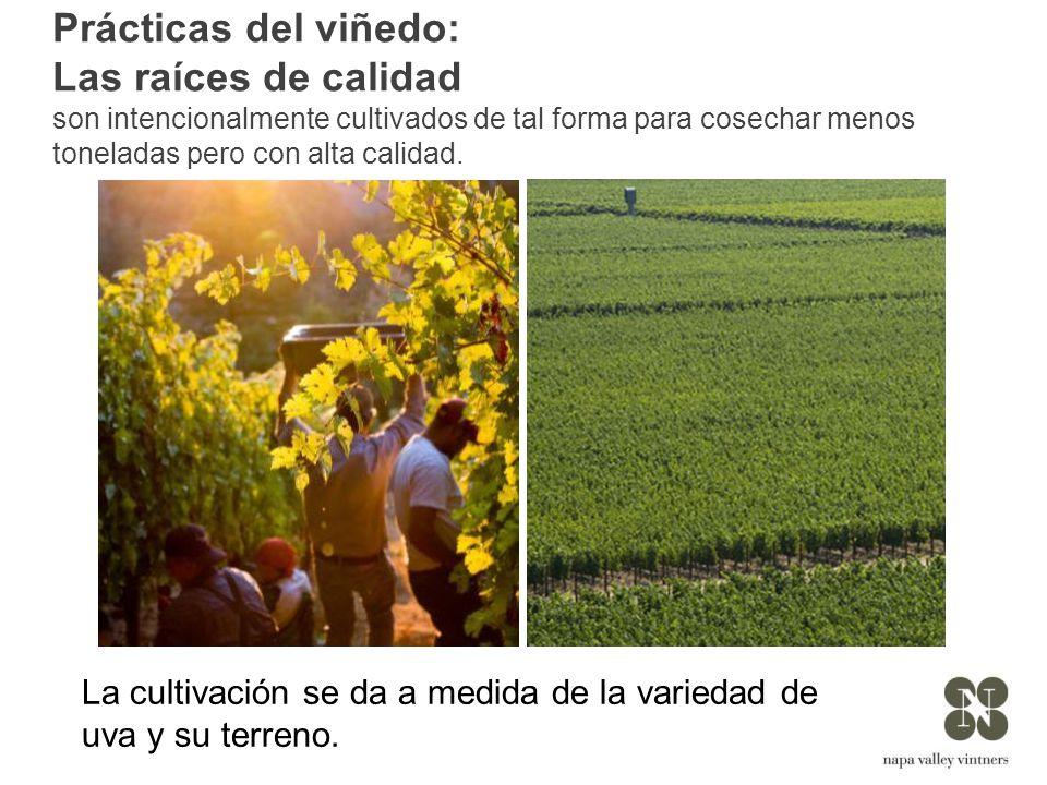 Prácticas del viñedo: Las raíces de calidad son intencionalmente cultivados de tal forma para cosechar menos toneladas pero con alta calidad.