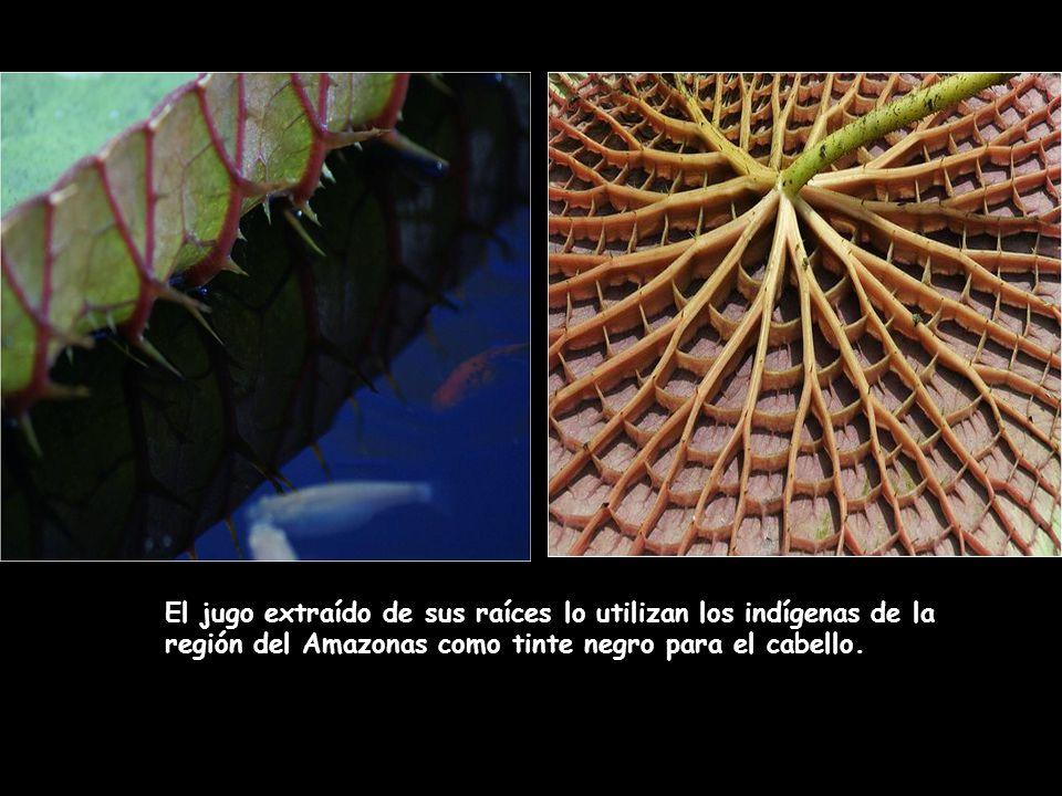 El jugo extraído de sus raíces lo utilizan los indígenas de la región del Amazonas como tinte negro para el cabello.
