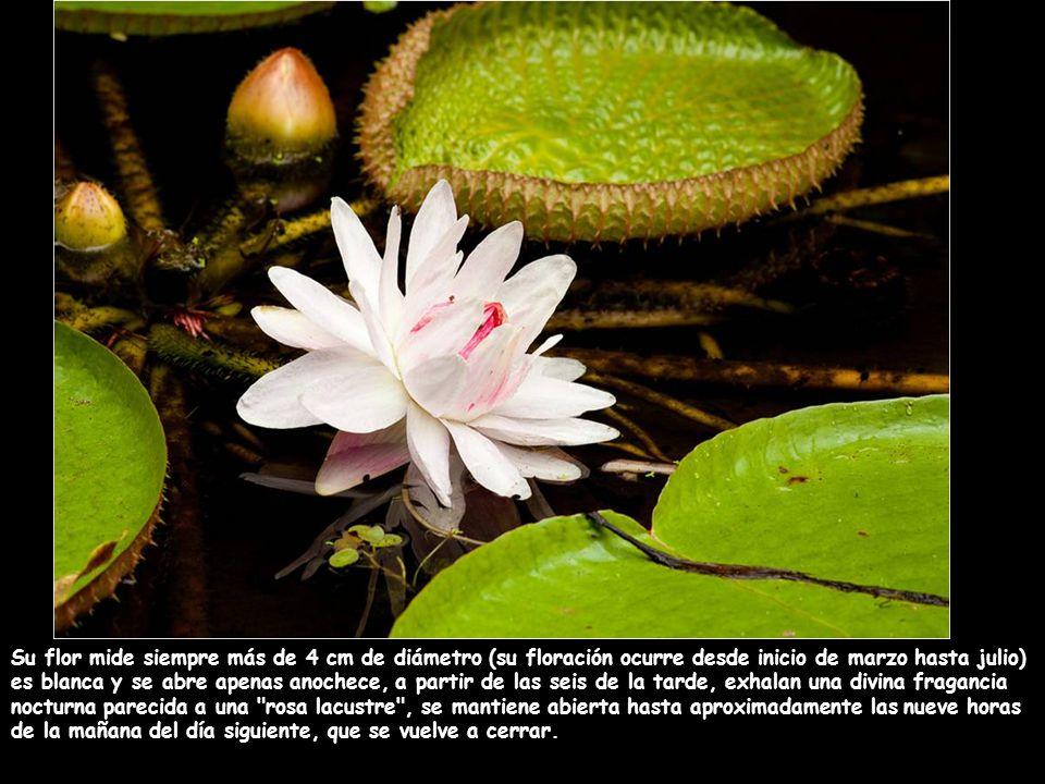 Su flor mide siempre más de 4 cm de diámetro (su floración ocurre desde inicio de marzo hasta julio)