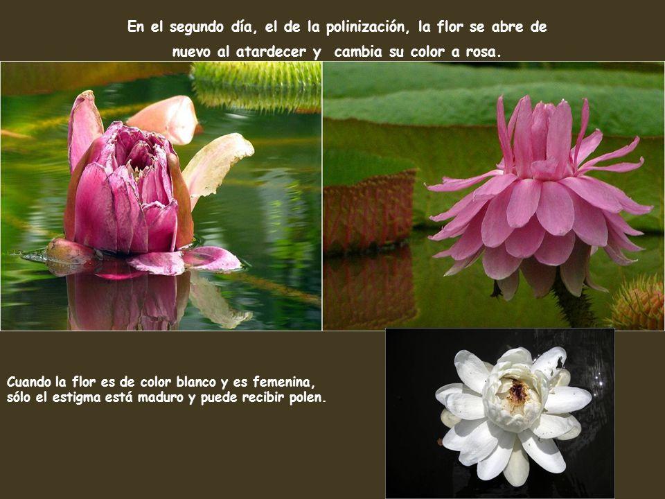 En el segundo día, el de la polinización, la flor se abre de nuevo al atardecer y cambia su color a rosa.