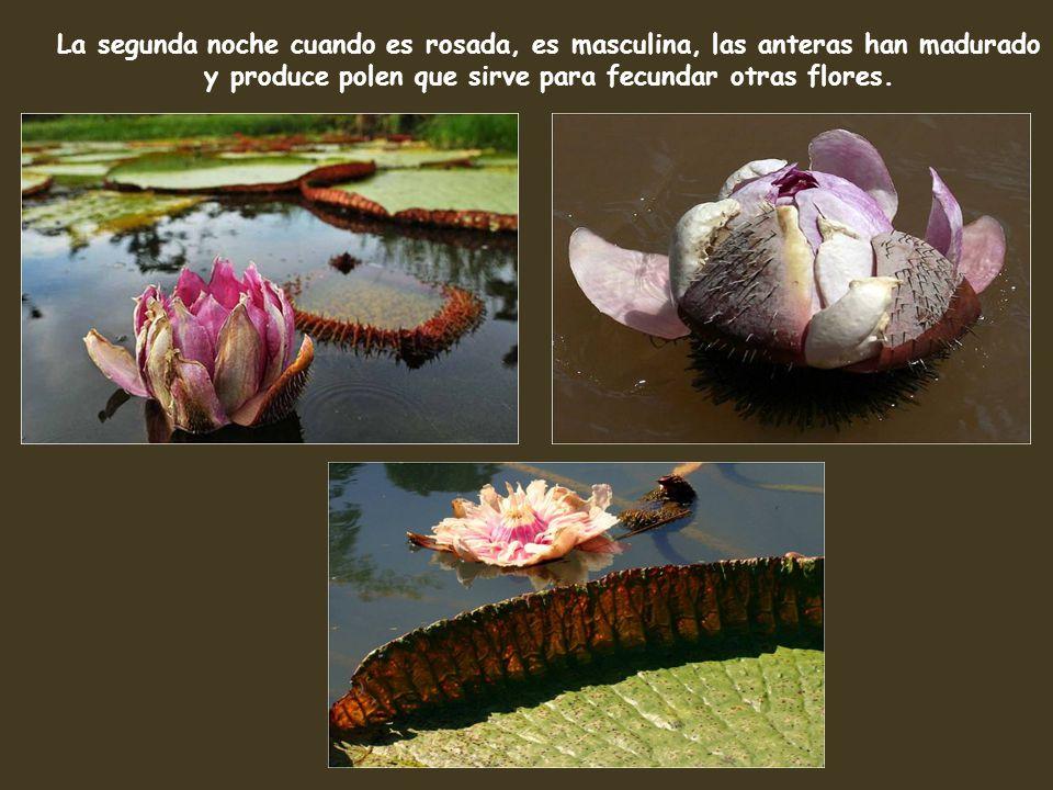 La segunda noche cuando es rosada, es masculina, las anteras han madurado y produce polen que sirve para fecundar otras flores.