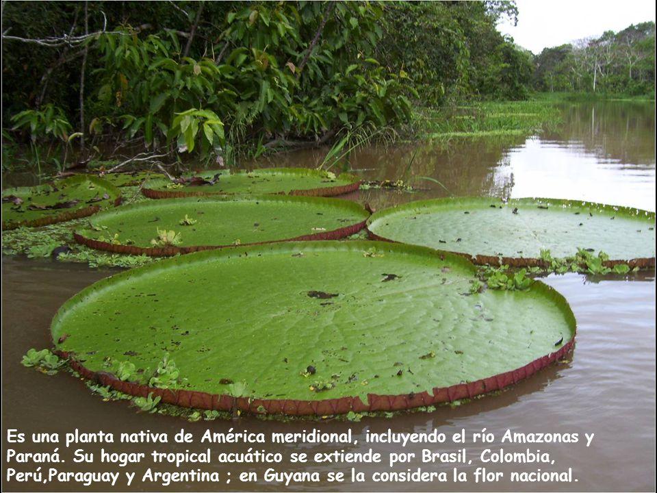 Es una planta nativa de América meridional, incluyendo el río Amazonas y Paraná.