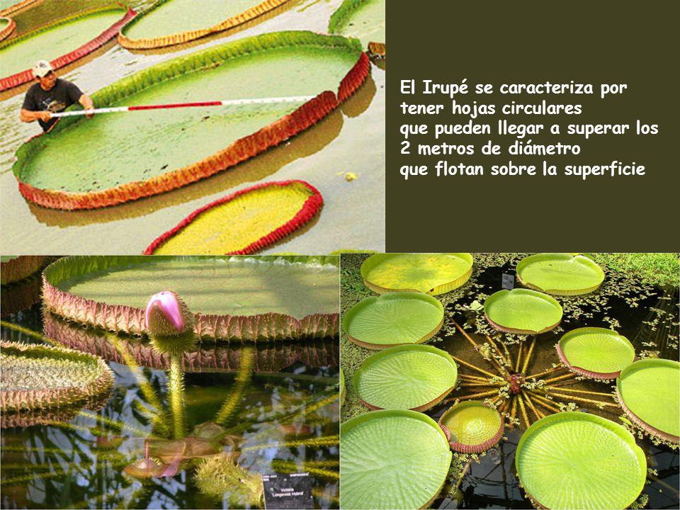 El Irupé se caracteriza por tener hojas circulares
