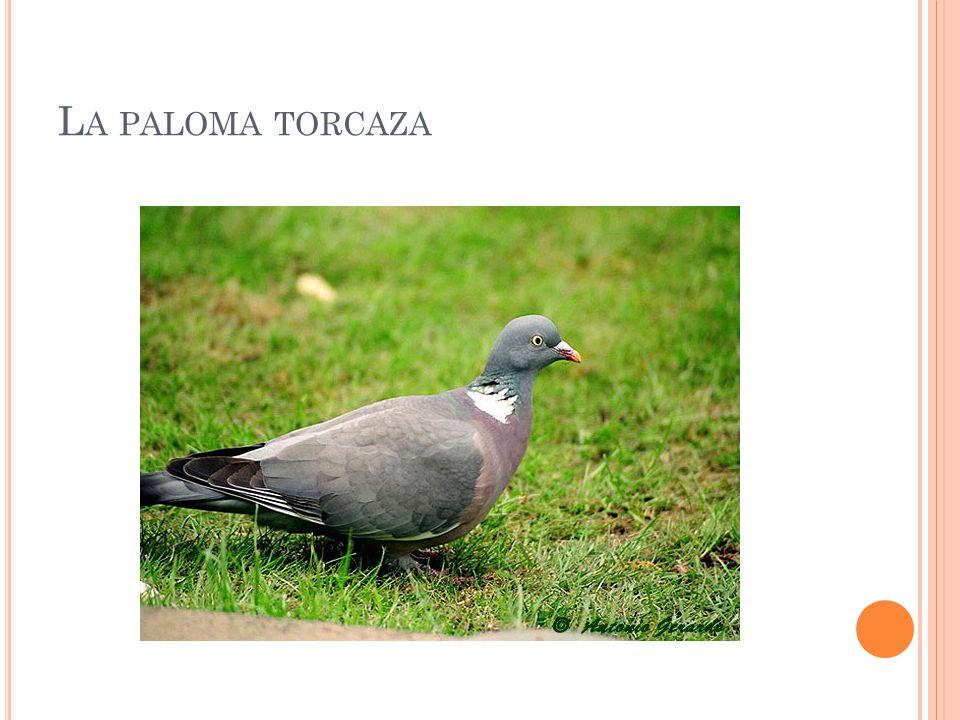La paloma torcaza