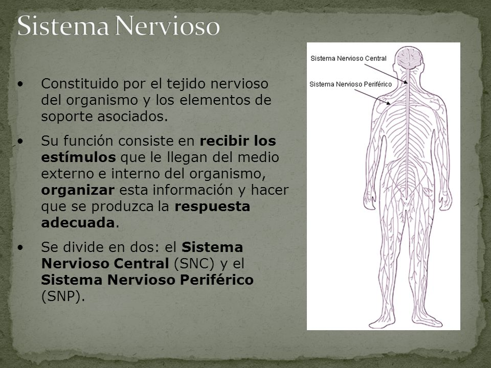 Sistema Nervioso Constituido por el tejido nervioso del organismo y los elementos de soporte asociados.