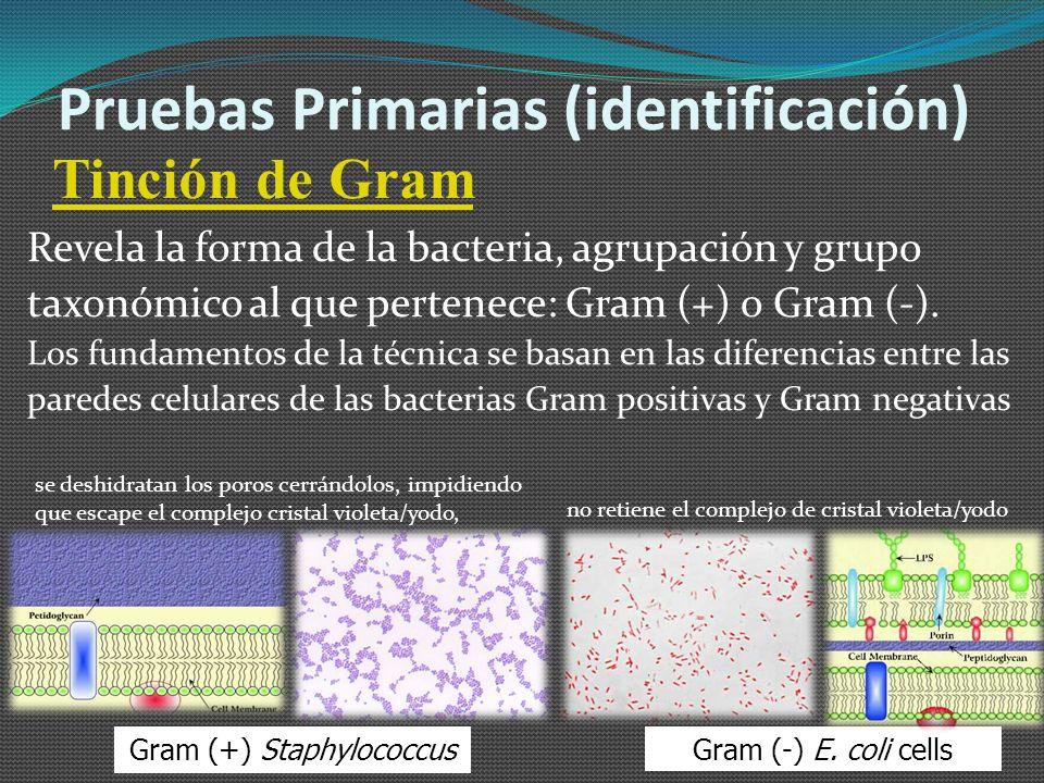 Gram (+) Staphylococcus