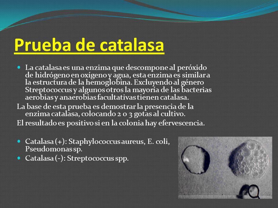 Prueba de catalasa