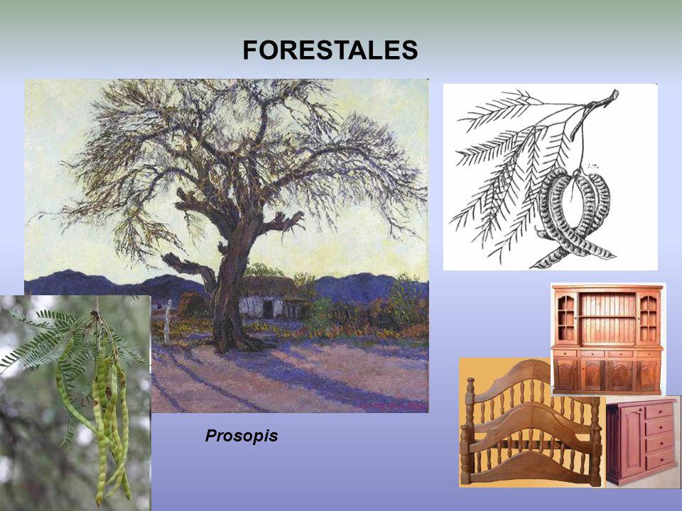 FORESTALES Prosopis
