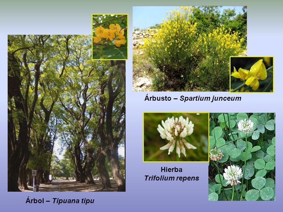 Árbusto – Spartium junceum