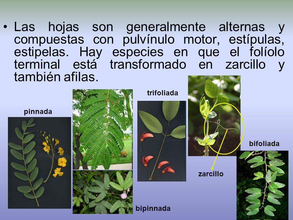 Las hojas son generalmente alternas y compuestas con pulvínulo motor, estípulas, estipelas. Hay especies en que el folíolo terminal está transformado en zarcillo y también afilas.