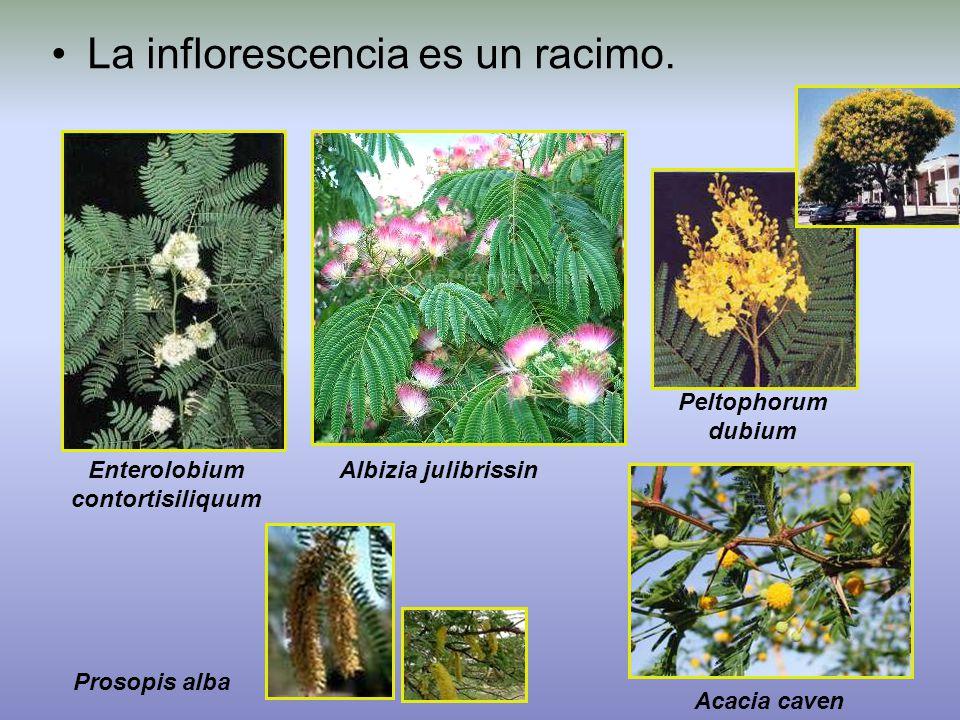 La inflorescencia es un racimo.