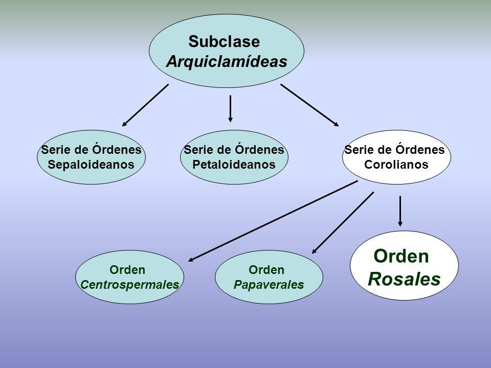 Orden Rosales Subclase Arquiclamídeas Serie de Órdenes Sepaloideanos