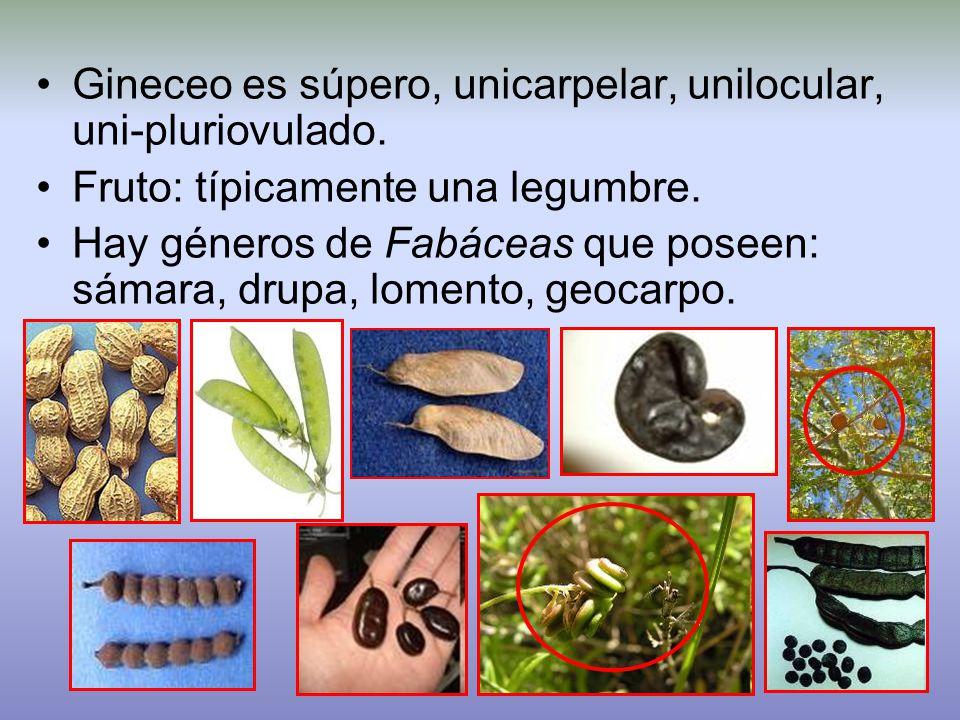 Gineceo es súpero, unicarpelar, unilocular, uni-pluriovulado.