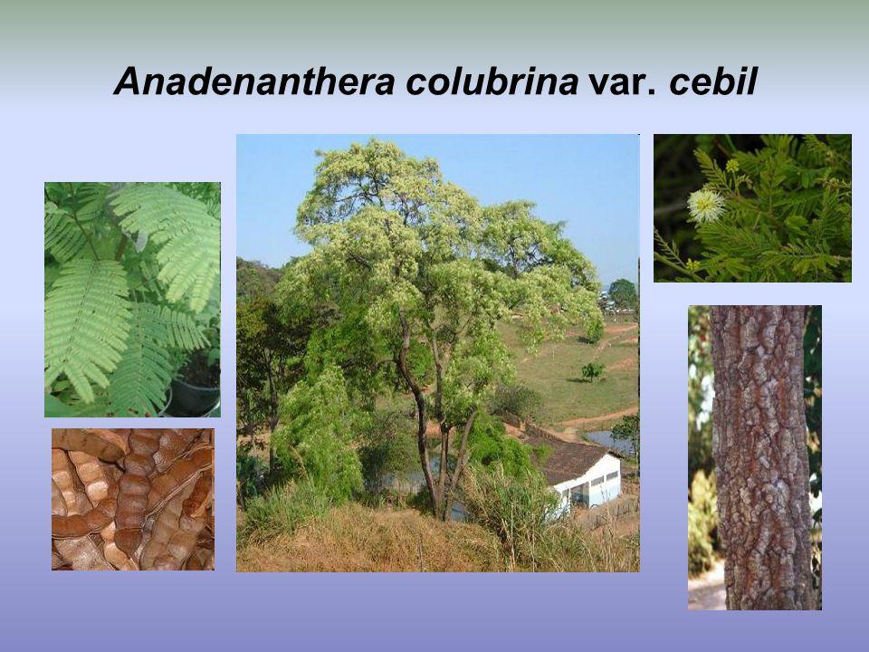 Anadenanthera colubrina var. cebil