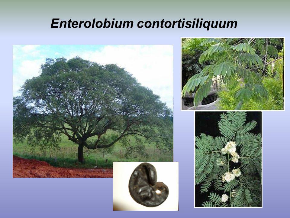 Enterolobium contortisiliquum