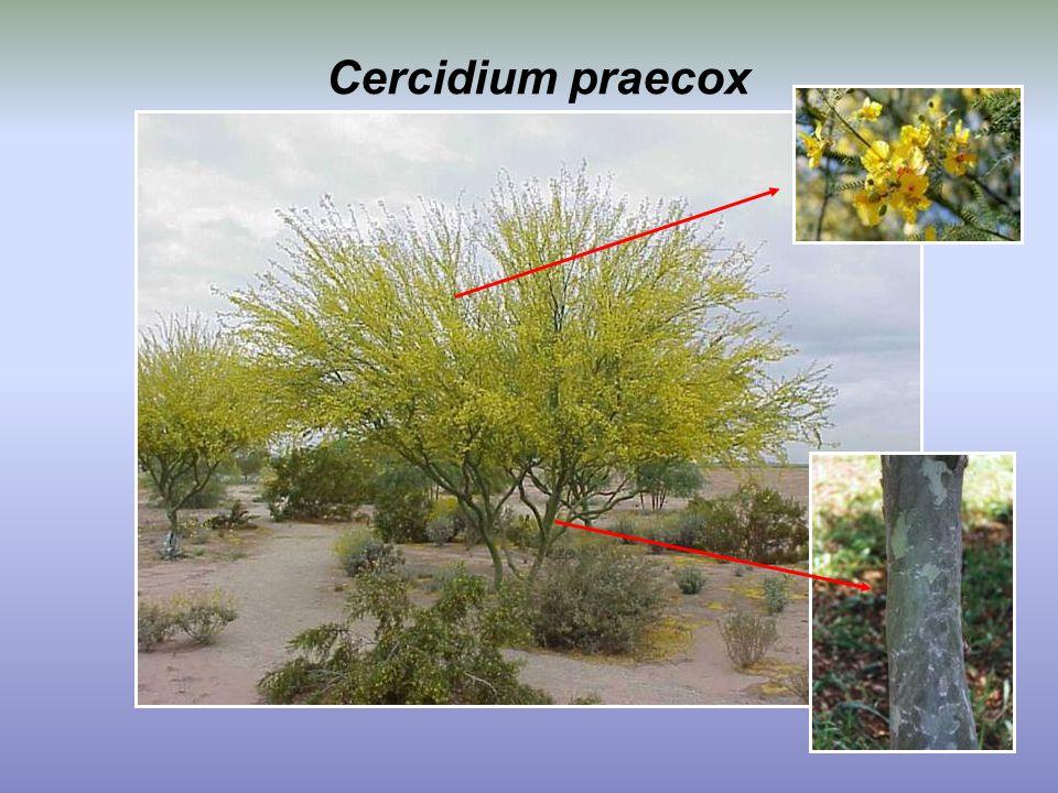 Cercidium praecox