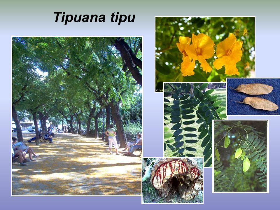 Tipuana tipu
