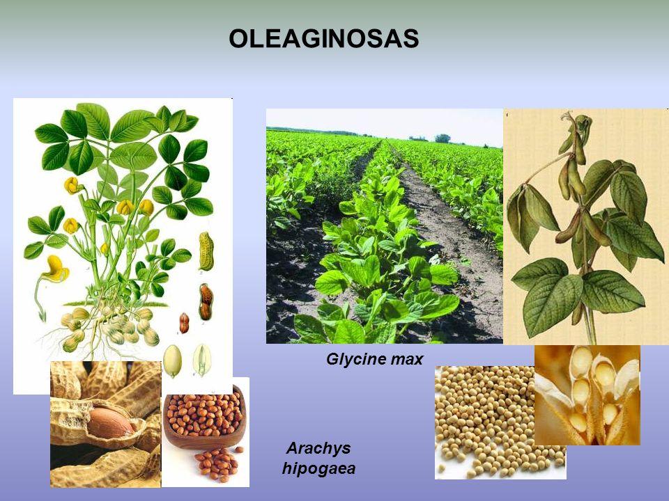 OLEAGINOSAS Glycine max Arachys hipogaea