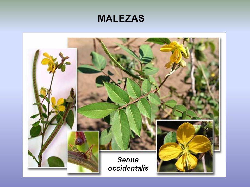 MALEZAS Senna occidentalis