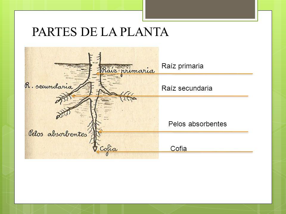 PARTES DE LA PLANTA Raíz primaria Raíz secundaria Pelos absorbentes