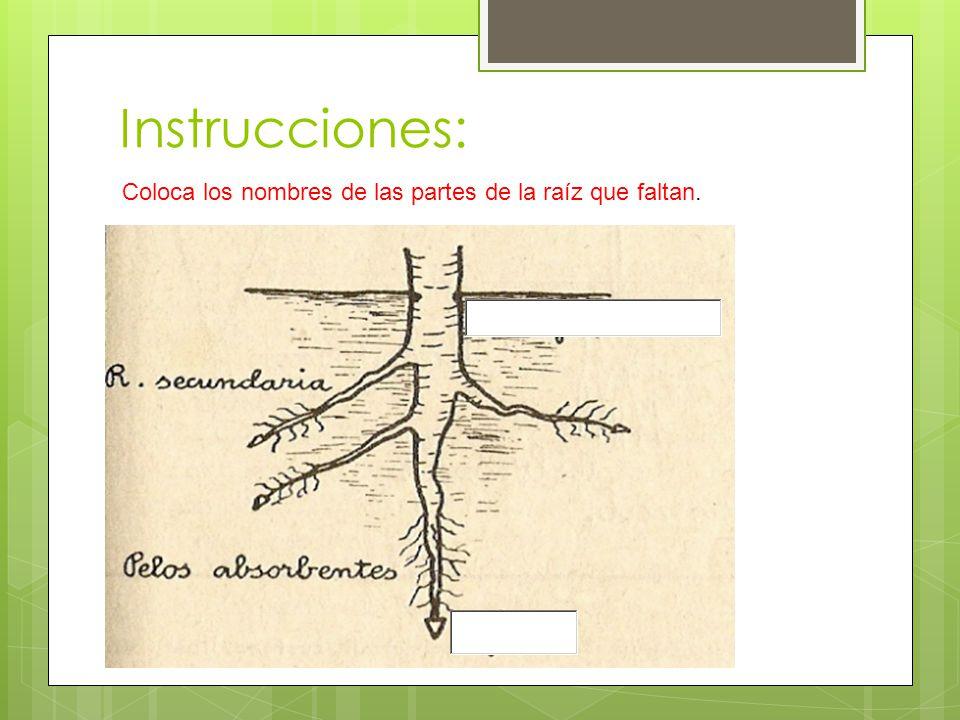 Instrucciones: Coloca los nombres de las partes de la raíz que faltan.