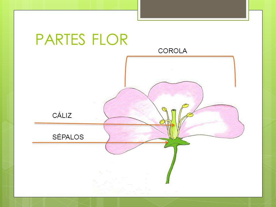 PARTES FLOR COROLA CÁLIZ SÉPALOS