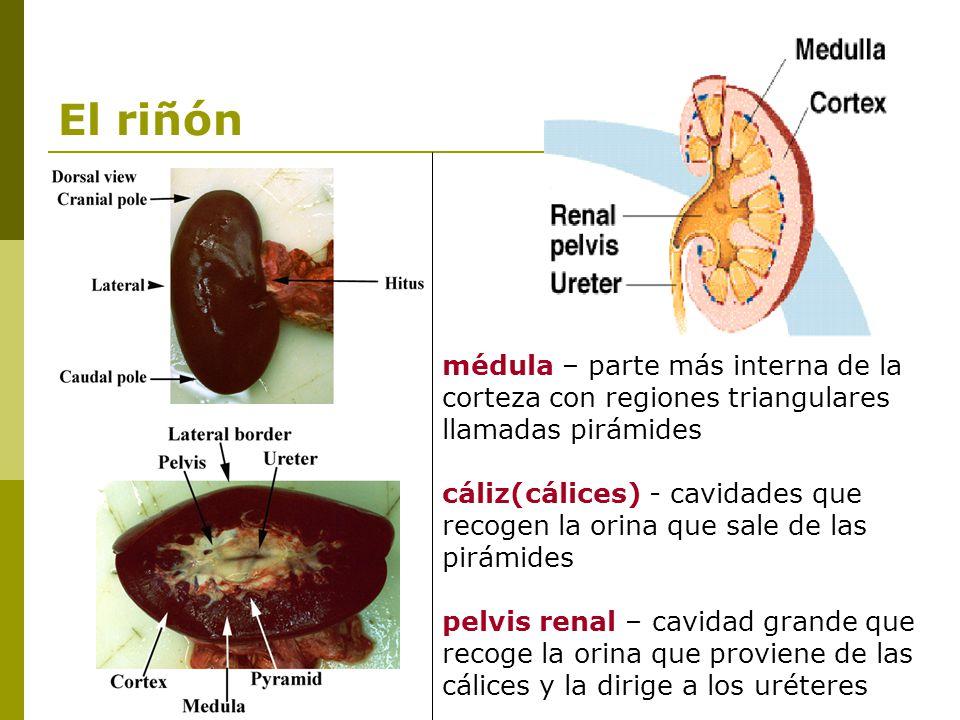 El riñón médula – parte más interna de la corteza con regiones triangulares llamadas pirámides.