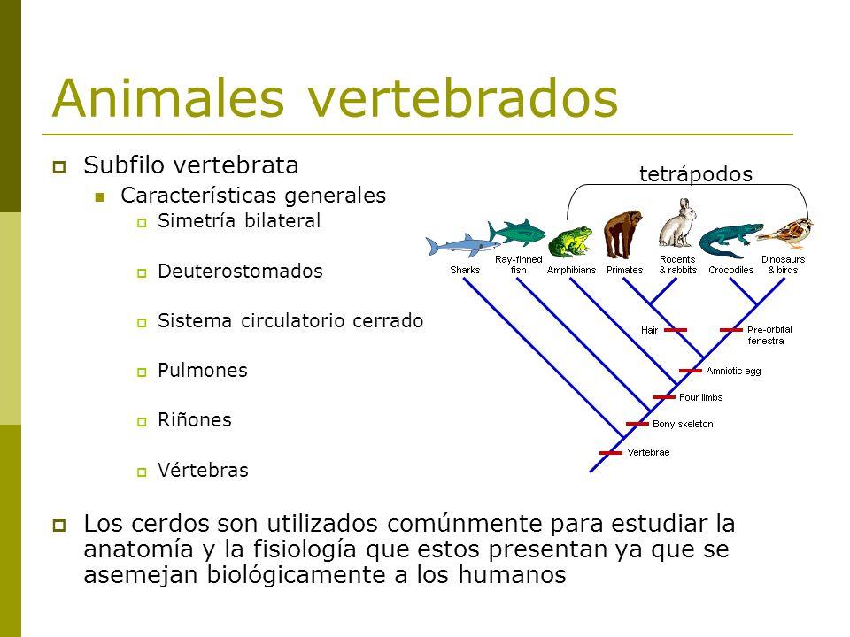 Animales vertebrados Subfilo vertebrata