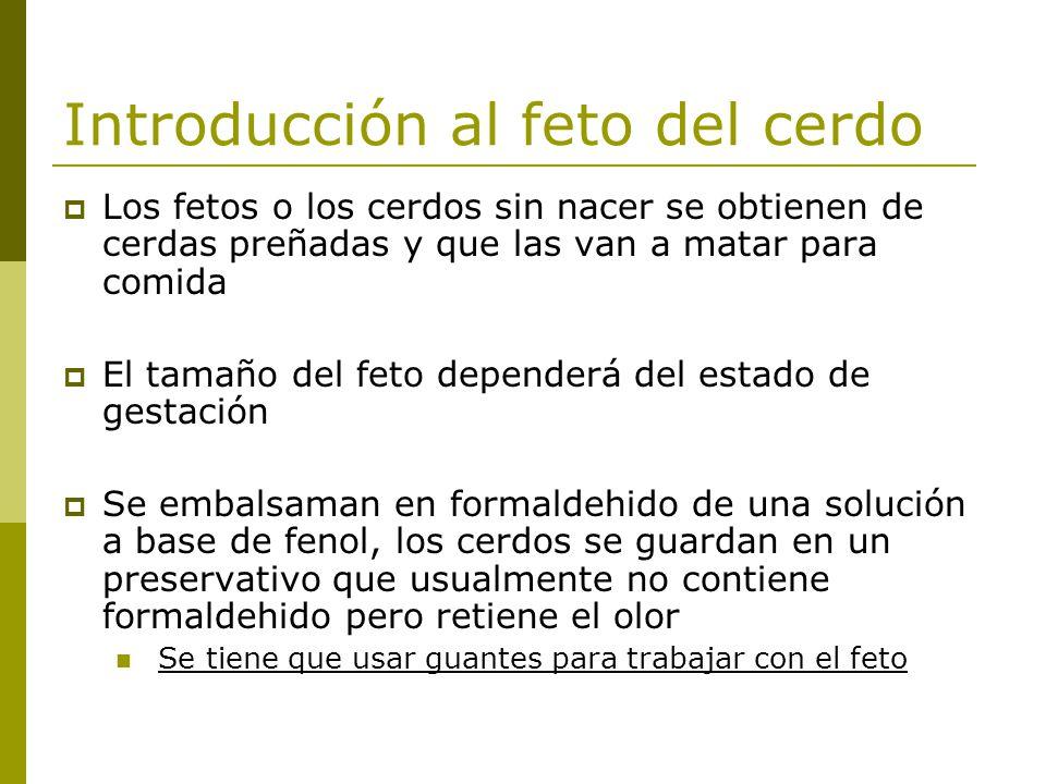 Hermosa Anatomía Cerdo Fetal Bandera - Anatomía de Las Imágenesdel ...
