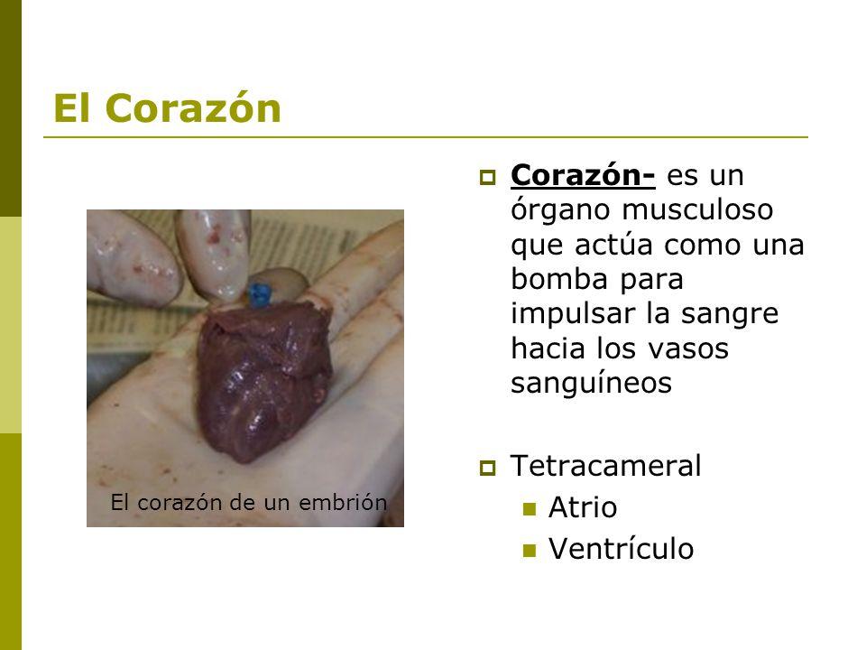 El Corazón Corazón- es un órgano musculoso que actúa como una bomba para impulsar la sangre hacia los vasos sanguíneos.