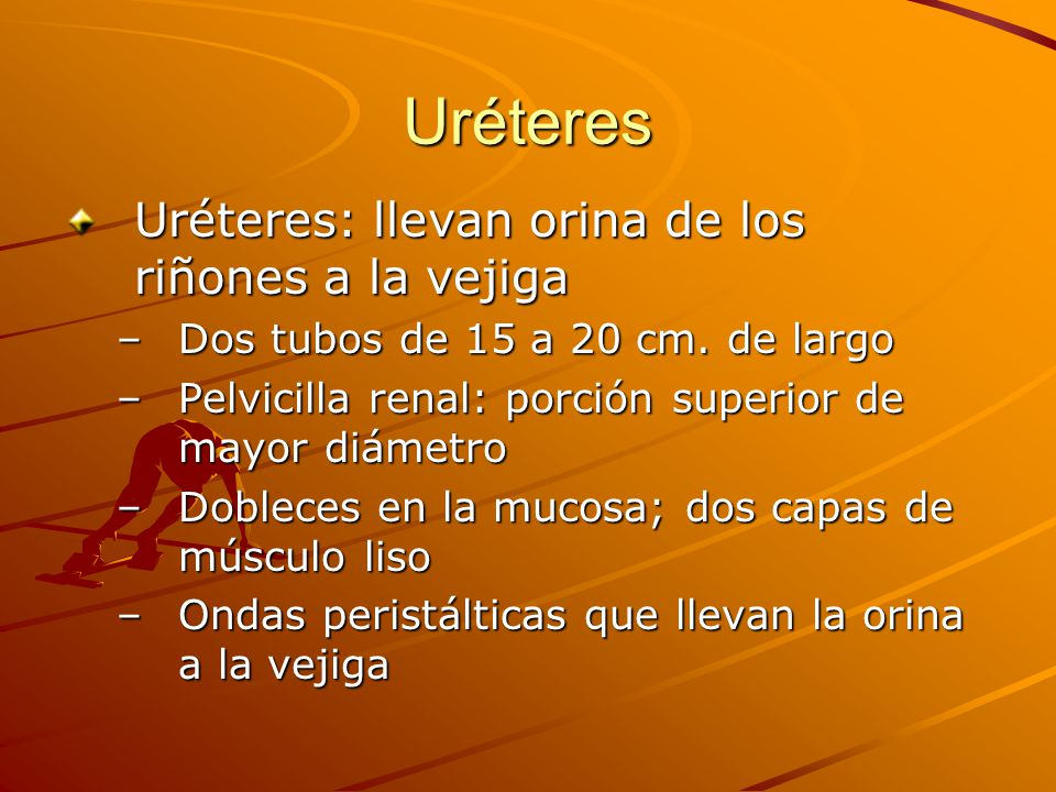 Uréteres Uréteres: llevan orina de los riñones a la vejiga