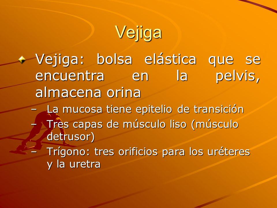 Vejiga Vejiga: bolsa elástica que se encuentra en la pelvis, almacena orina. La mucosa tiene epitelio de transición.