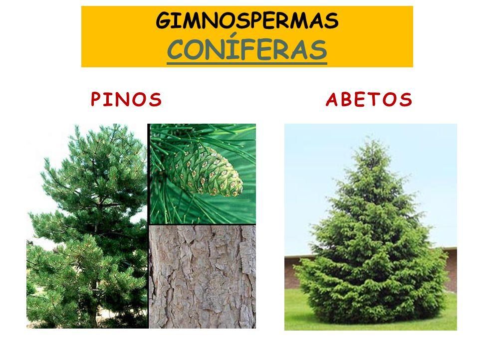 GIMNOSPERMAS CONÍFERAS PINOS ABETOS
