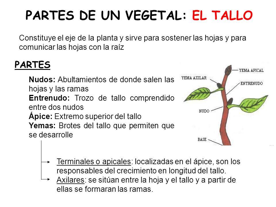 PARTES DE UN VEGETAL: EL TALLO