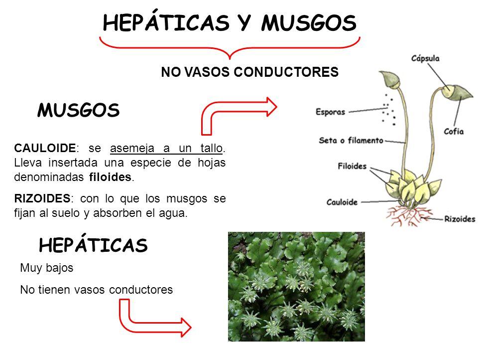 HEPÁTICAS Y MUSGOS MUSGOS HEPÁTICAS NO VASOS CONDUCTORES