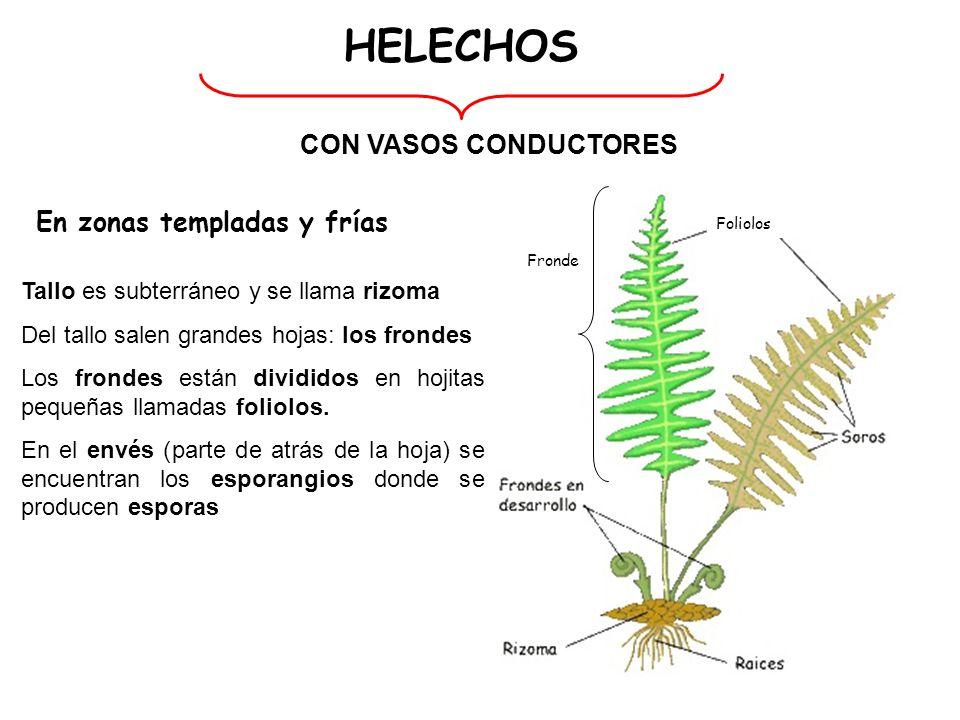 HELECHOS CON VASOS CONDUCTORES En zonas templadas y frías