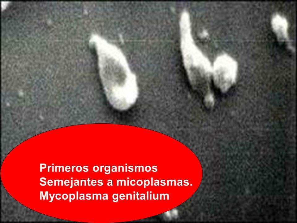Primeros organismos Semejantes a micoplasmas. Mycoplasma genitalium