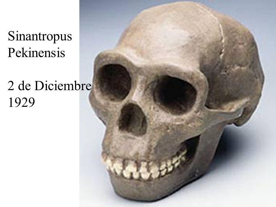 Sinantropus Pekinensis 2 de Diciembre 1929