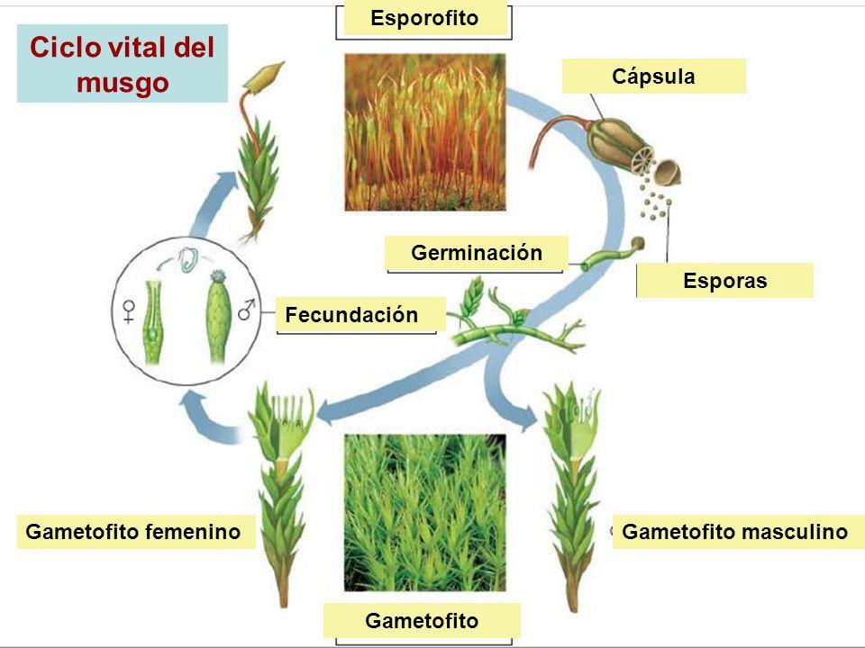 Ciclo vital del musgo Esporofito Cápsula Germinación Esporas