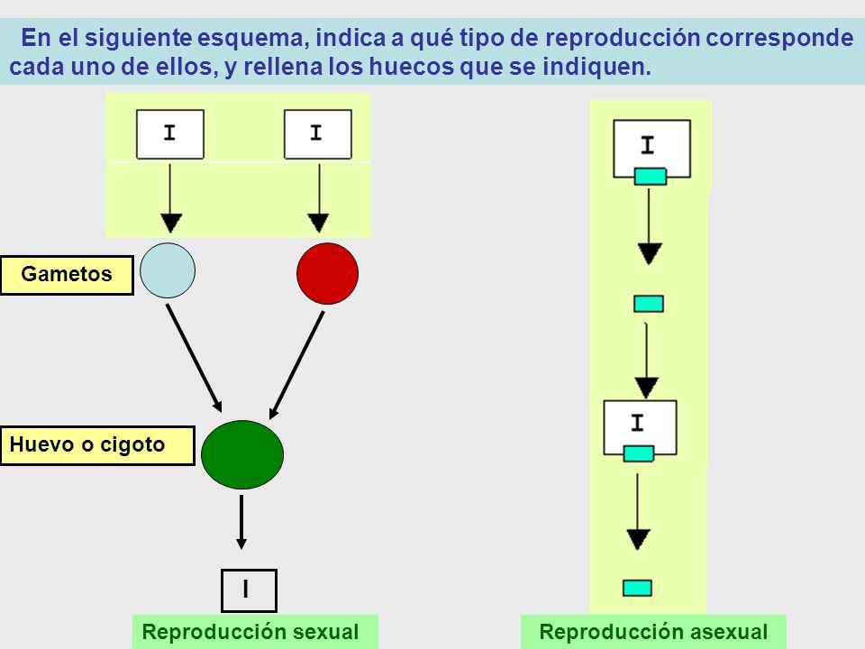En el siguiente esquema, indica a qué tipo de reproducción corresponde cada uno de ellos, y rellena los huecos que se indiquen.