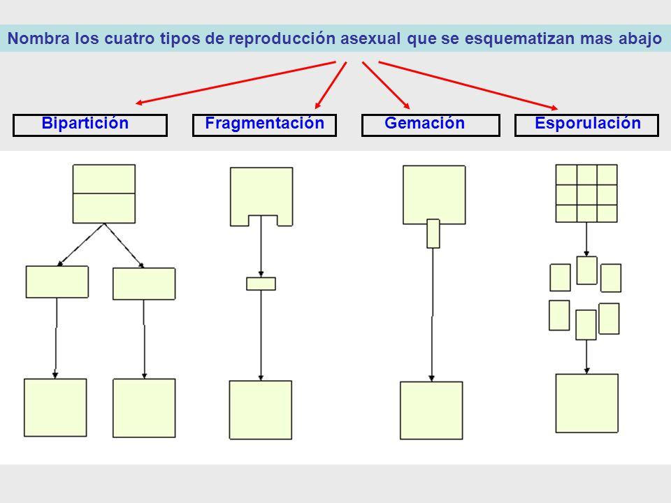 Nombra los cuatro tipos de reproducción asexual que se esquematizan mas abajo