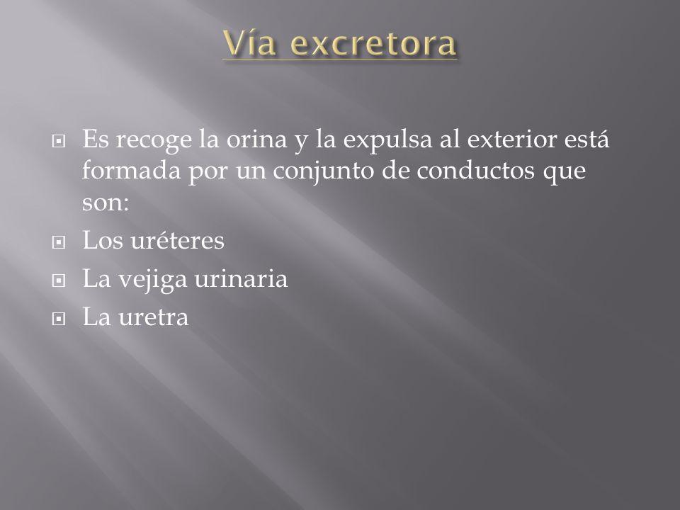 Vía excretora Es recoge la orina y la expulsa al exterior está formada por un conjunto de conductos que son: